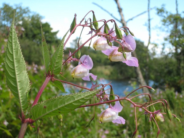 Delicate light purple multiple flowers on stem with river bank in the background