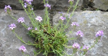 Wall Flora
