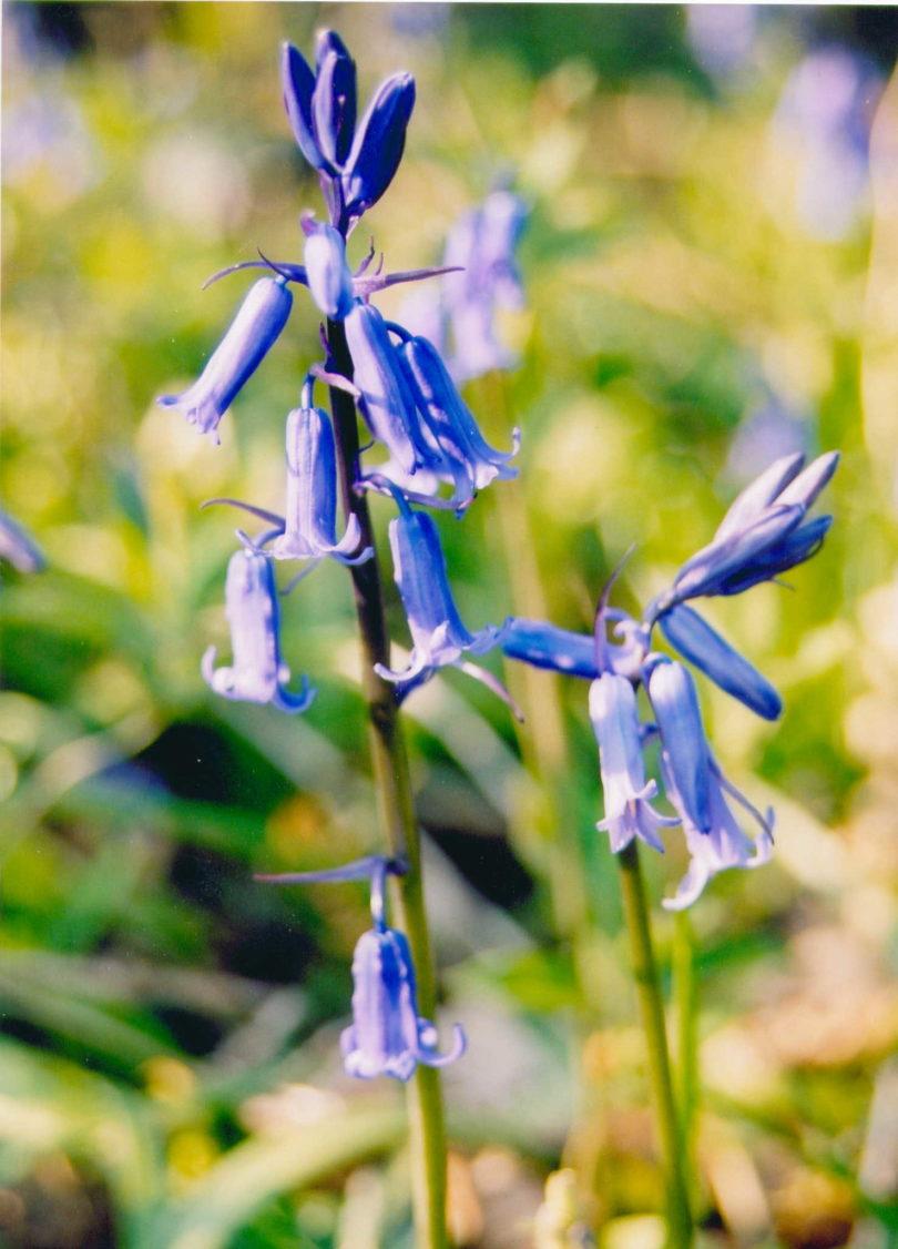 Sulitary Bluebell