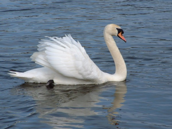 Side profile photo of swan in the water