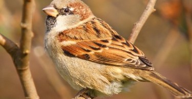 photo of house sparrow