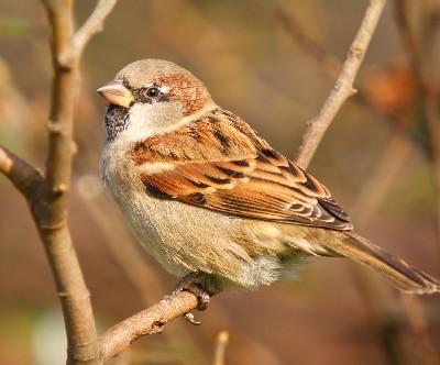 photo of house sparrow