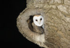 Barn Owl in Ash Tree (photo courtesy of Mike Brown)